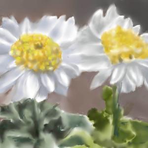 植物画 「菊の花」