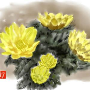 春の訪れ 「福寿草」