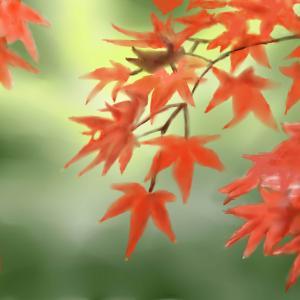 秋を感じる 「紅葉」