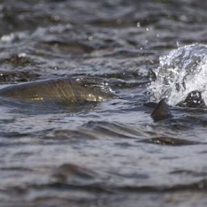 釣っても釣っても45センチで釣りが上手くなったのかと勘違いした