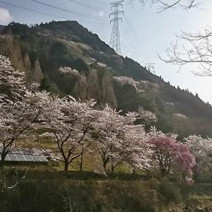 ☆峰山高原ホテル リラクシア☆神河の桜。♪☆