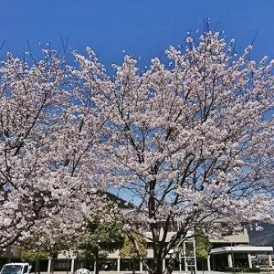 ☆峰山高原ホテル リラクシア☆神河の桜Ⅱ。♪☆