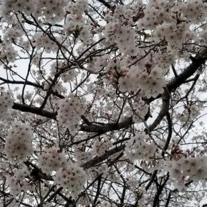 リセット出来ない思いと‥桜