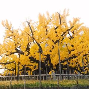 紅葉も後半ですね!東本願寺さんの大いちょうの木を見て来ました!