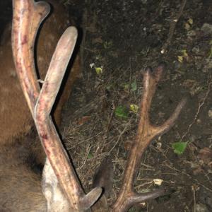 鹿を捕食する