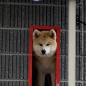 秋田犬 メス 7カ月 里親募集