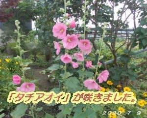 「タチアオイ」の花が咲く・・・