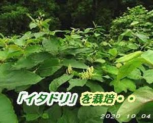 「イタドリ」を農作物として栽培・・