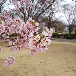 あだたら山と桜【ぷうちゃん、岩手に行く。~19年!(平成31年)春 その③~】