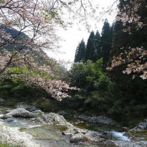渓流釣りに行ってきた🎣散りはじめた桜も綺麗だった🌸