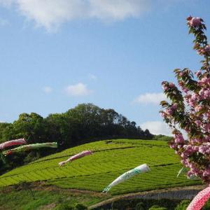 新茶の季節🌿千財農園