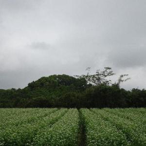 蕎麦畑 ✾ ラベンダー