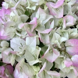 花にも一番似合う色がある