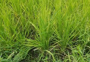 田植えから11週目の様子です。穂が伸びていました。