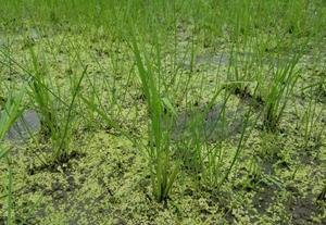 チェーン除草はコナギに効果大でした。クログワイは…
