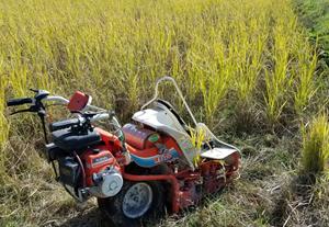 1.6反の田んぼの稲刈りしました。明日は、天日干しします♪