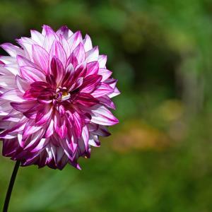 ダリアの花ダリア 2