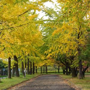 川越市 水上公園のイチョウ並木