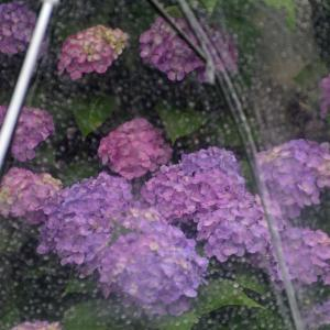 狭山市中原公園の紫陽花