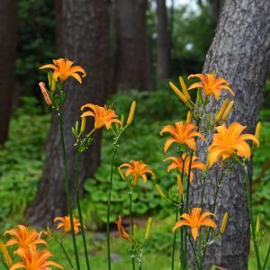 城ケ崎海岸で自生する浜萱草の花