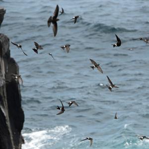 城ケ崎海岸のアマツバメ
