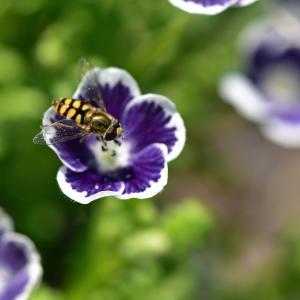 ネモフィラに蜂