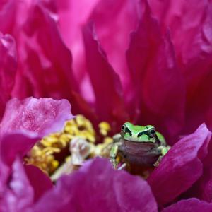 牡丹の花にアマガエル