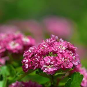 アカバナサンザシとサンザシの花