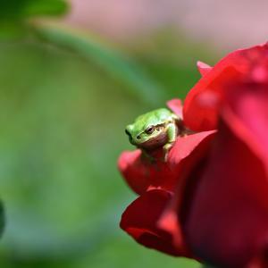 バラにアマガエル