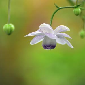 蓮華升麻の花