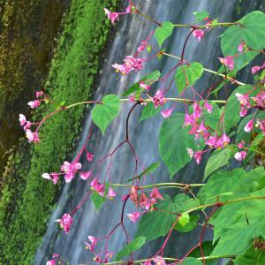 秋海棠の花