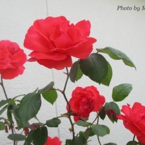 薔薇が綺麗な季節になりました♪