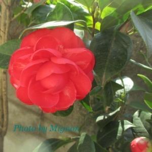 山茶花と乙女椿が咲きました♪
