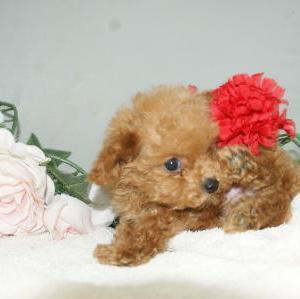 小さな子犬/トイプードル/ペットショップ宮城/石巻市