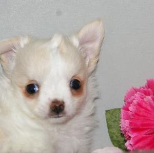 ペット犬/子犬チワワ販売/格安犬種販売店/大崎市/加美町