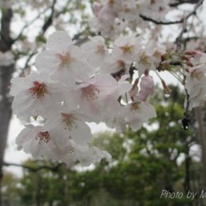 2020年 県立図書館の桜🌸♪