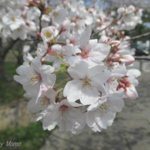 倉敷市 酒津公園の桜