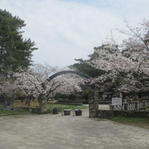 倉敷市 酒津公園の桜②
