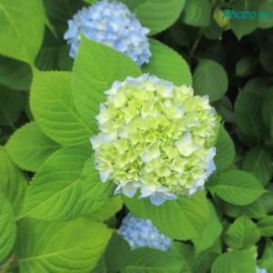 岡山県立図書館の紫陽花が見頃です♪