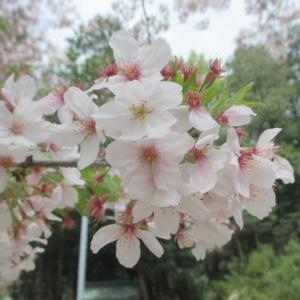 布勢神社(岡山市東区大多羅町)の桜