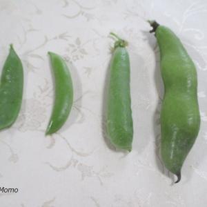 「そら豆・アラスカ豆・スナップエンドウ・さやえんどう」の収穫をさせてもらいました。