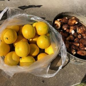 今日は、レモンの収穫をしたよ。