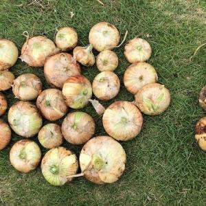 新玉ねぎの収穫をしたよ。