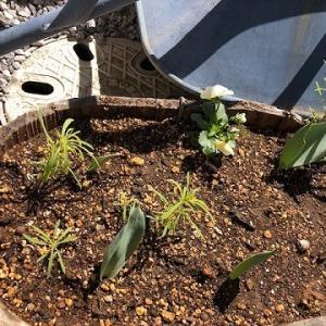 今年もこぼれ種が、ジャンジャン発芽してきております。