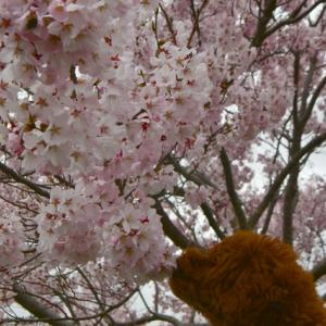 犬生初の 江戸彼岸桜さん