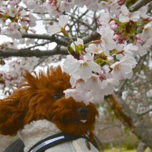桜は咲いてきたけど…
