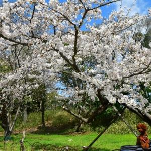 明石公園咲いたね〓