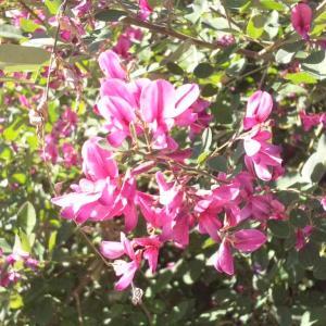 萩(ハギ)…秋の七草のひとつです。