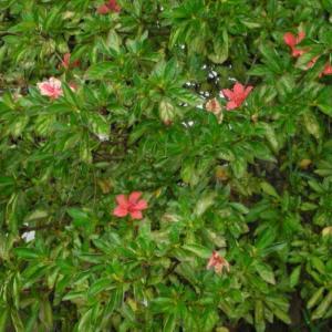 19.1014 サツキの花