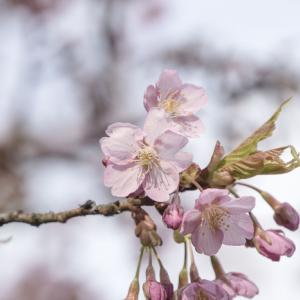 20.4.7 桜が咲いた